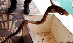 Serpentes capturadas são entregues ao Butantan